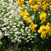 semer et associer les fleurs bisannuelles jardinage. Black Bedroom Furniture Sets. Home Design Ideas