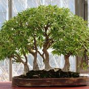 mon bonsa perd ses feuilles que faire ooreka. Black Bedroom Furniture Sets. Home Design Ideas