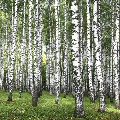 Arbre caduc liste ooreka - Reconnaitre les arbres par leur tronc ...