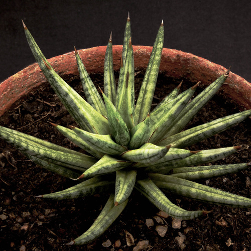cactus roses liste ooreka. Black Bedroom Furniture Sets. Home Design Ideas