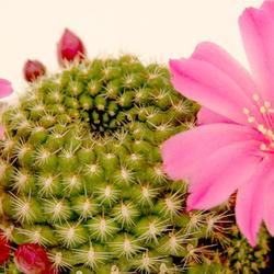 8 cactus roses