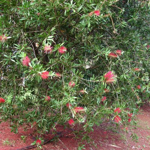 Arbuste fleurs rouges liste ooreka - Plante retombante feuillage persistant ...