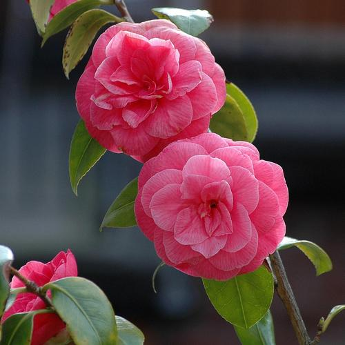 arbuste à fleurs roses : liste - ooreka