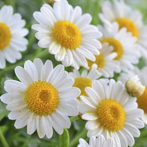 Fleurs vivaces d 39 t liste ooreka - Image fleur marguerite ...