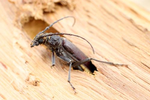 Lutte anti capricorne de maison ooreka for Insecte attaquant le bois