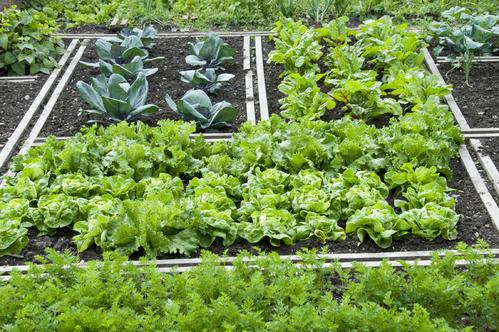 Organisation des cultures au potager ooreka - Association des legumes au potager ...