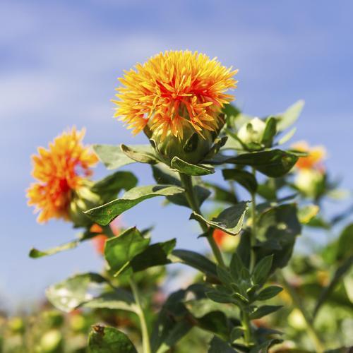 Fleur annuelle : liste - Ooreka