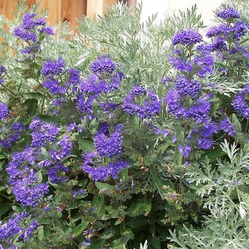 Arbuste fleurs violettes liste ooreka for Plante arbuste