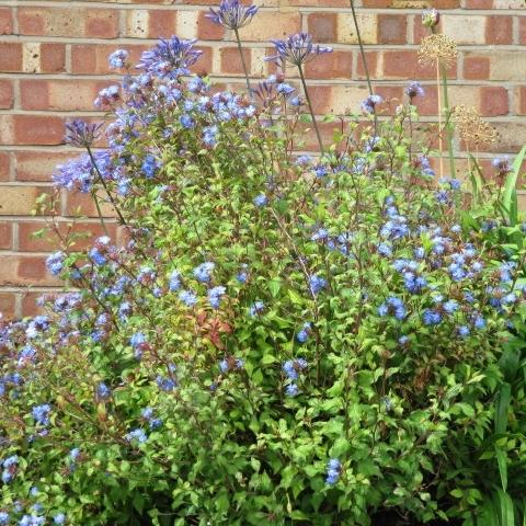 Arbuste A Fleurs Bleues Liste Ooreka
