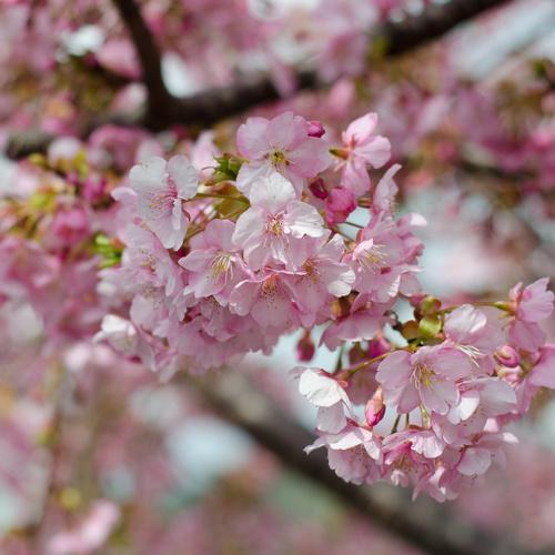 Arbre colonnaire liste ooreka - Arbre rose japon ...