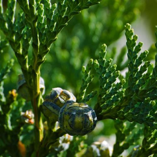 Arbre feuillage persistant liste ooreka - Arbres a feuilles caduques ...