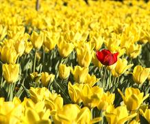 Champ de fleurs jaunes une rouge