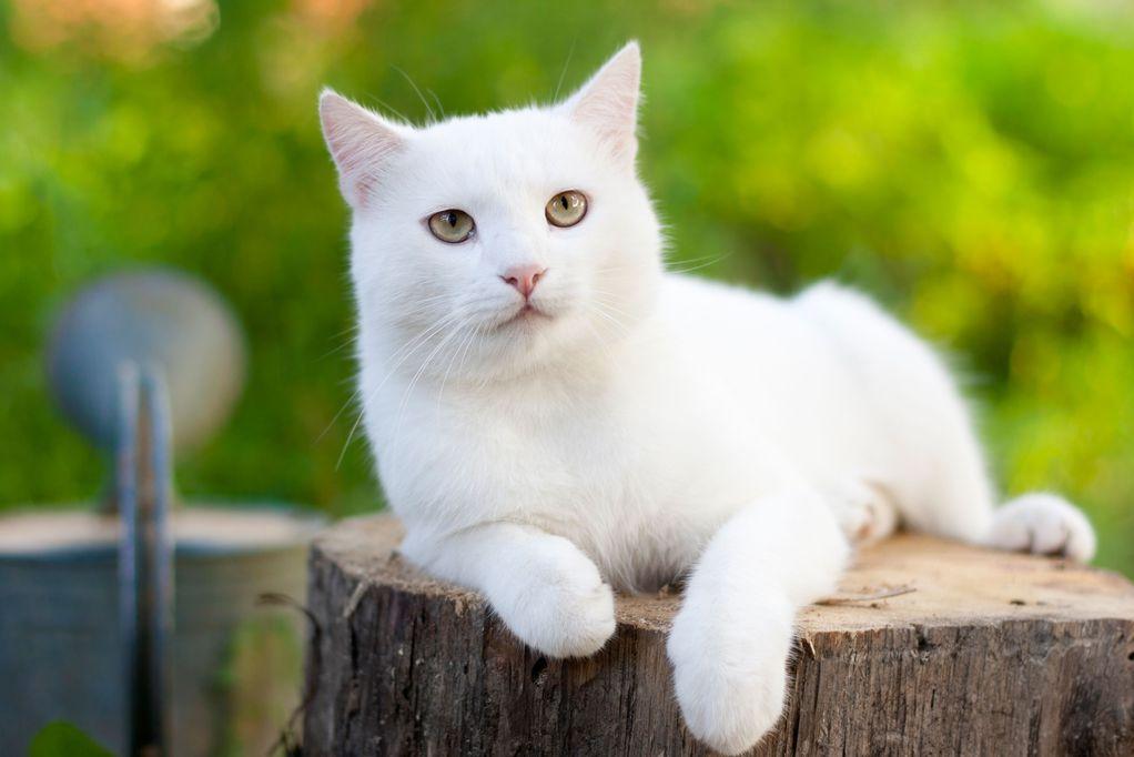 Chat albinos caract ristiques d 39 un chat albinos ooreka - Image de chat mignon ...