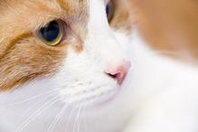 Tête de chat blanc et roux