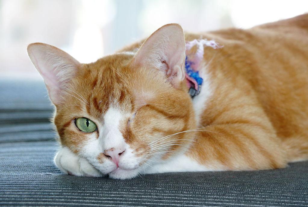 Résultats de recherche d'images pour «chat roux aveugle»
