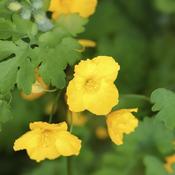 Plante jaune