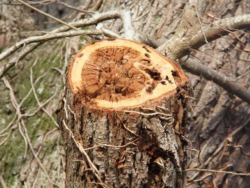 Pourriture d'une plaie importante sur chêne