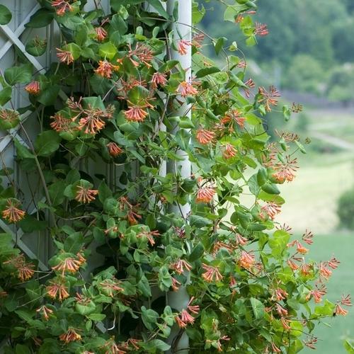 plante grimpante nom latin