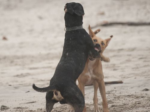Chien agressif : types de conduites agressives