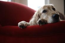 Golden sur canapé