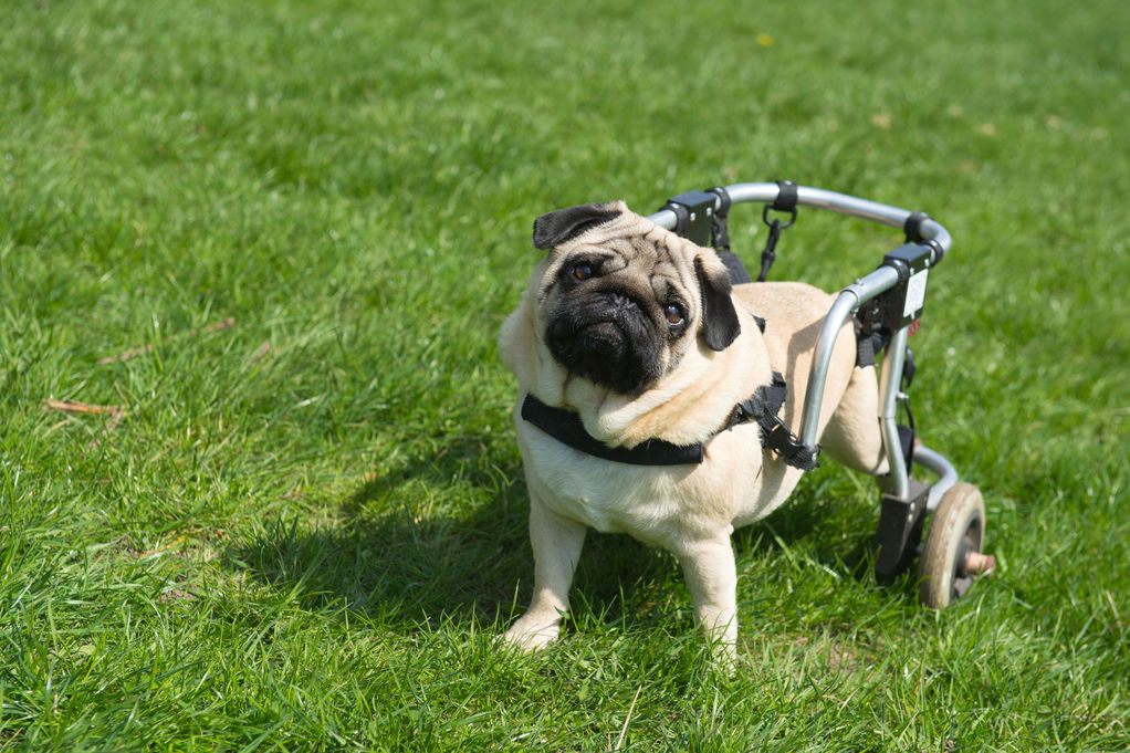 chariot chien caract ristiques prix chariot pour chien ooreka