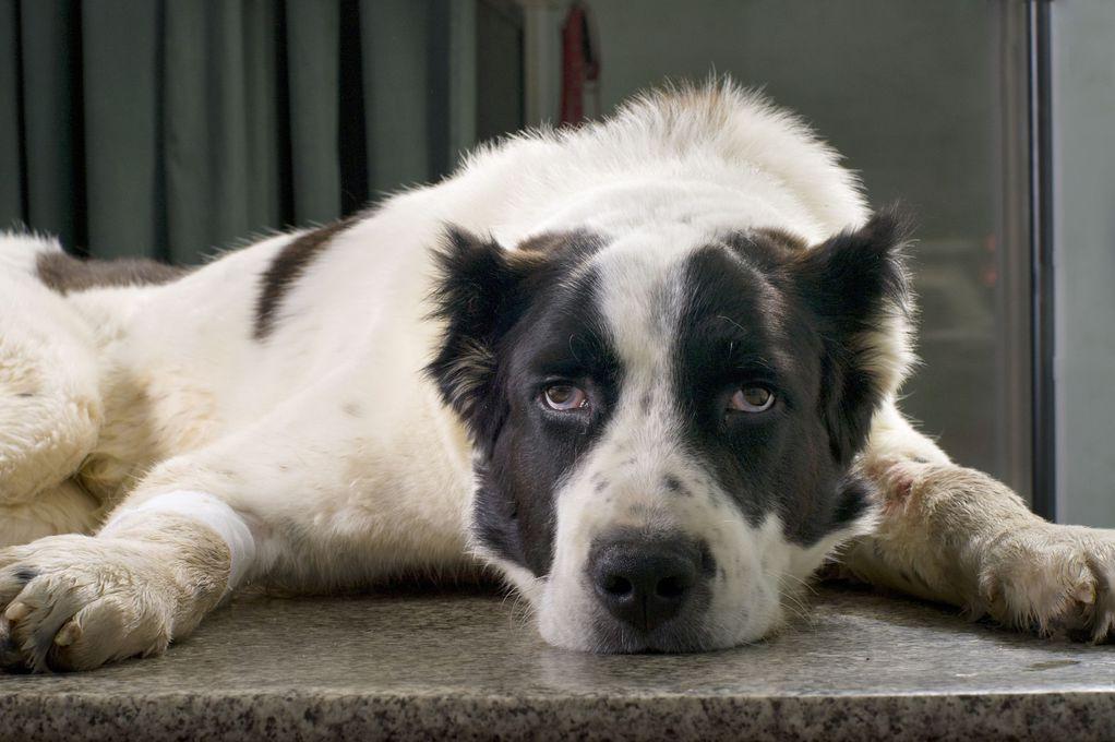 Gargouillis ventre chien : causes et prévention - Ooreka