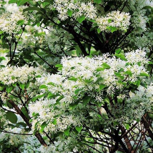arbre fleurs blanches liste ooreka. Black Bedroom Furniture Sets. Home Design Ideas