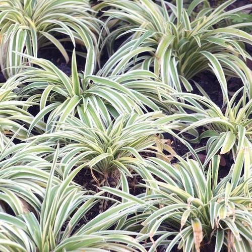Plante vivace d 39 ombre liste ooreka for Plantes ombre exterieur nord