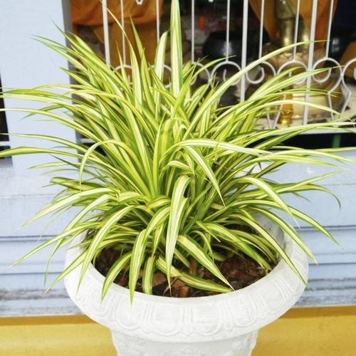 10 plantes assainissantes liste ooreka for Les plantes decoratives