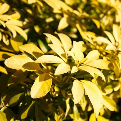 Plante jaune liste ooreka - Oranger du mexique feuilles jaunes ...