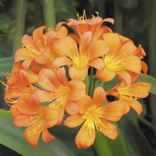 Fleur qui fleurit en avril ooreka for Amaryllis jaune