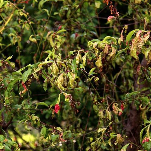 Traiter la cloque du p cher jardinage - Cloque du pecher traitement naturel ...