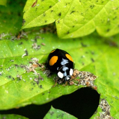 Lutter contre les cochenilles jardinage - Dosage vinaigre blanc contre pucerons ...