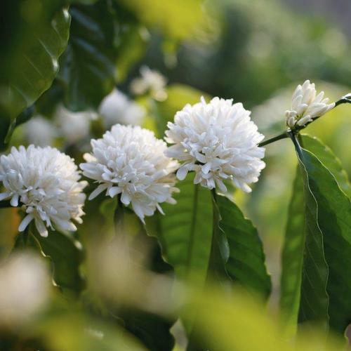 Arbuste à fleurs blanches : liste - Ooreka