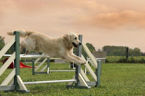 Compétition pour chien