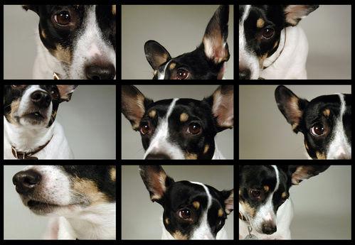 Comportement des différentes races de chien