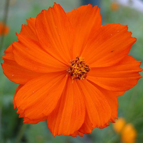 fleur orange liste ooreka. Black Bedroom Furniture Sets. Home Design Ideas