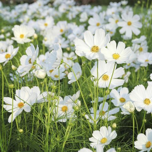 plante à fleurs blanches : liste - ooreka