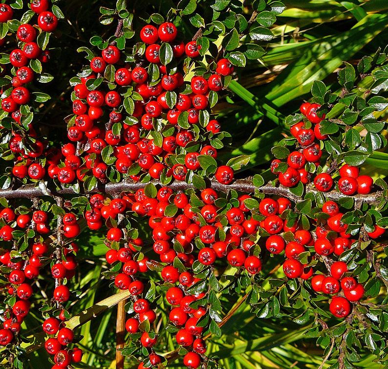 Cotoneaster salicifolius description culture entretien ooreka - Arbuste a boule rouge ...