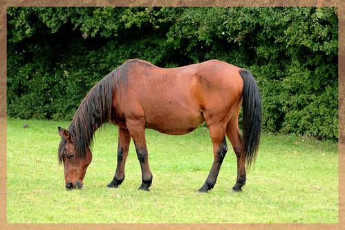 photo cheval qui broute