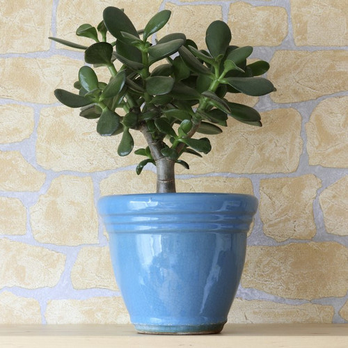 Cactus d 39 int rieur liste ooreka for Plante design interieur