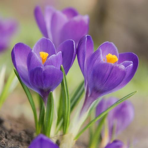 Fleurs de balcon liste ooreka - Plante a bulbe liste ...