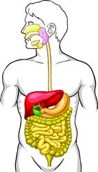 Anatomie appareil digestif maladie de Crohn