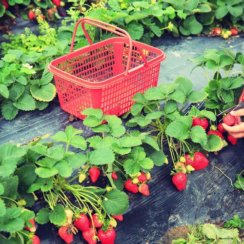 Reconnaître et traiter les maladies des fraisiers