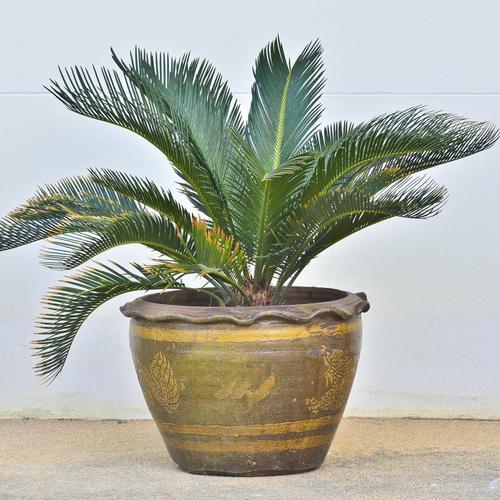 plante exotique robuste