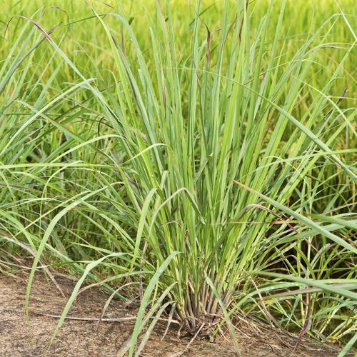 Plantes pour terrasse ensoleill e liste ooreka for Plantes vertes exterieur