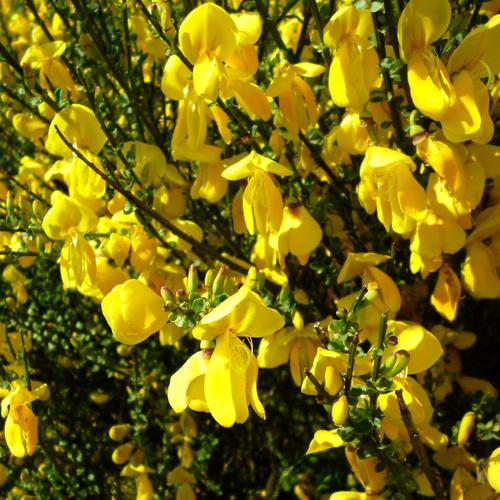 quels arbustes planter en mars ?
