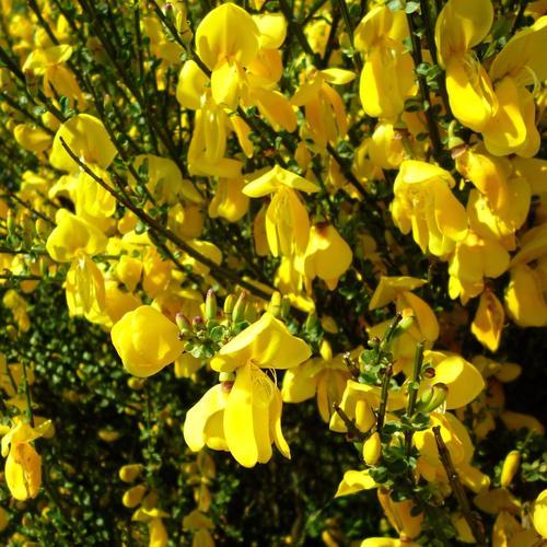 Sorte De Fleur Jaune Plante Pompon Jaune Euroseconde