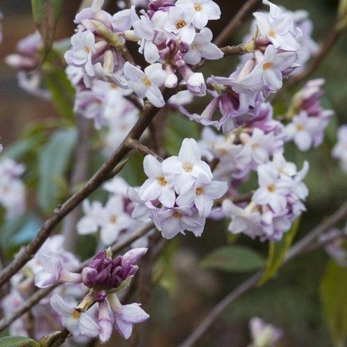 Arbuste jasmin fleurs en clochette id e d 39 image de fleur - Jasmin blanc d hiver ...