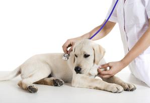 Lymphome chien